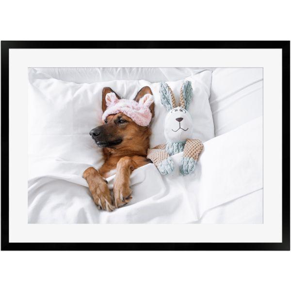 Süßer schlafender Hund im Bett | Poster mit Holzrahmen 50x70 cm