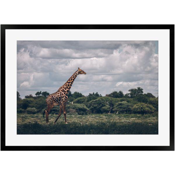 Giraffe Omaruru Namibia   Poster mit Holzrahmen 50x70 cm