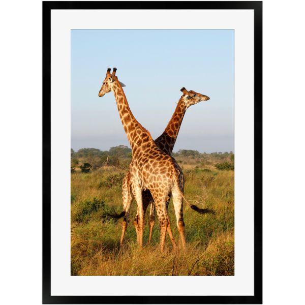Giraffen in der afrikanischen Savanne | Poster mit Holzrahmen 50x70 cm