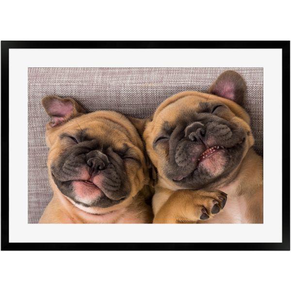 Lachende französische Bulldoggen | Poster mit Holzrahmen 50x70 cm