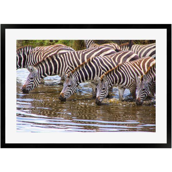 Zebras an Wasserstelle | Poster mit Holzrahmen 50x70 cm