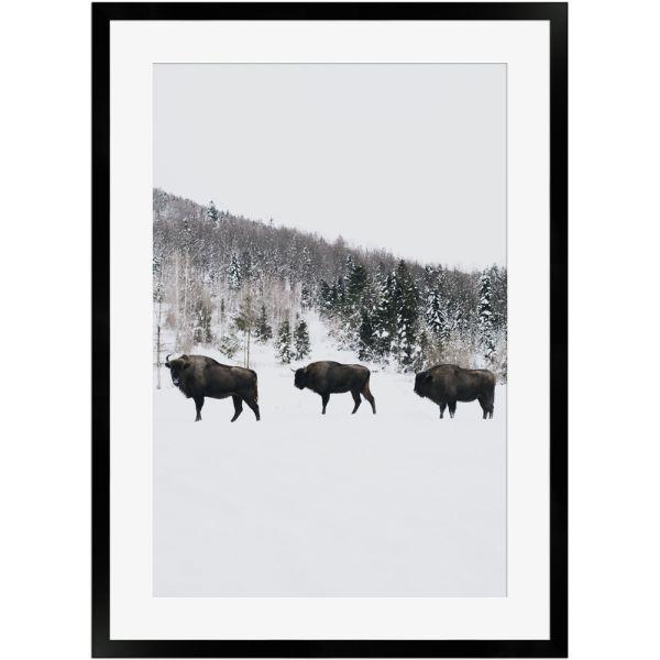 Wisente im Winter | Poster mit Holzrahmen 50x70 cm